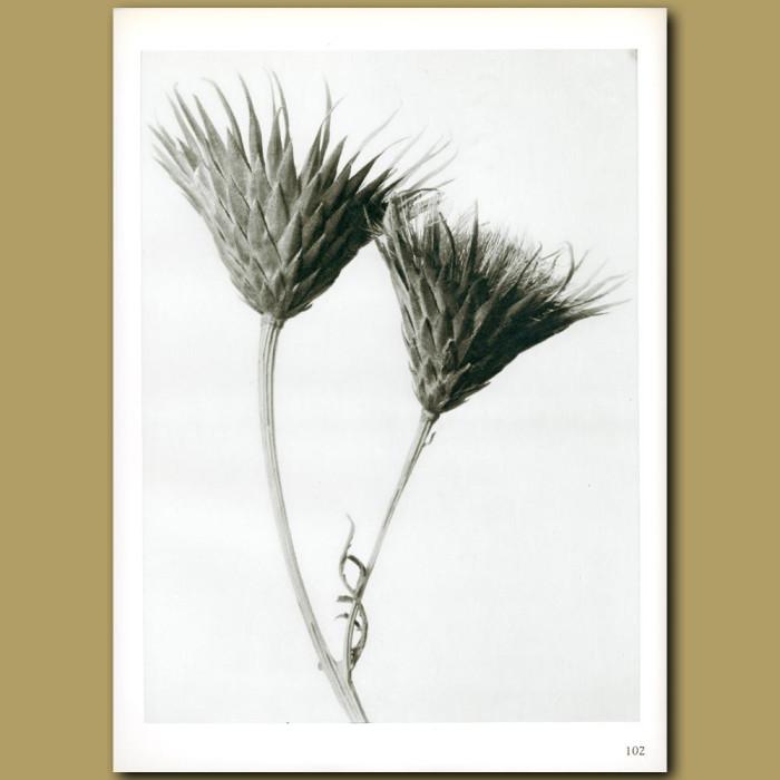 Antique print. Serratula nudicaulis (4x)