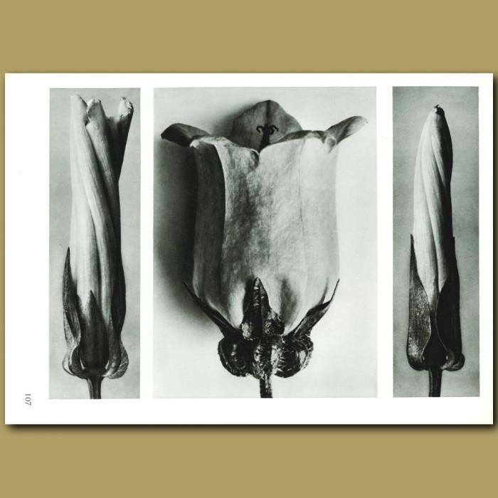 Antique print. Convolvus sepium (5x), Campanula medium (6x)