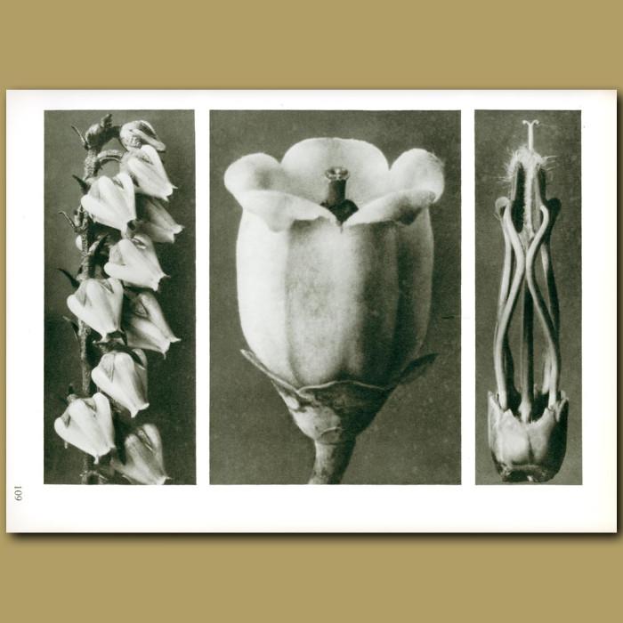 Antique print. Andromeda florib.(6x), Vaccinium cory.(10x), Acanthus mollis