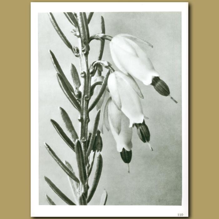 Antique print. Erica herbacea (16x)