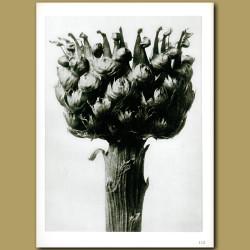 Centaurea Macrocephala (5x)