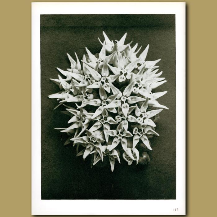 Antique print. Asclepias speciosa (3x)