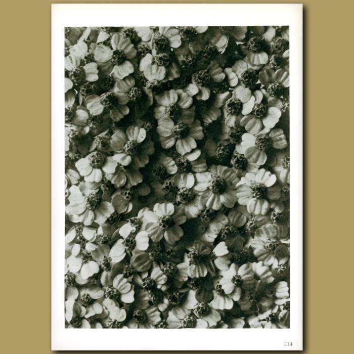 Antique print. Achillea millefolium (8x)