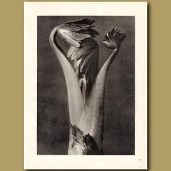 Aconitum (8x)