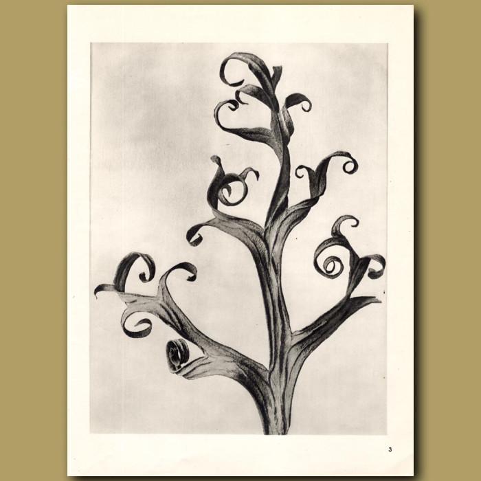 Delphinium (6x): Genuine antique print for sale.