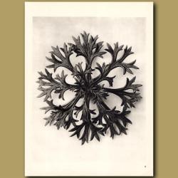 Saxifraga Willkommniana (8x)