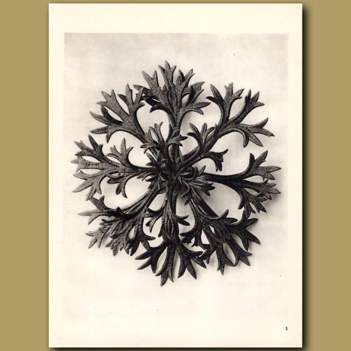 Saxifraga Willkommniana (8x): Genuine antique print for sale.