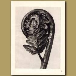 Polypodiaceae Aspidieae (4x)