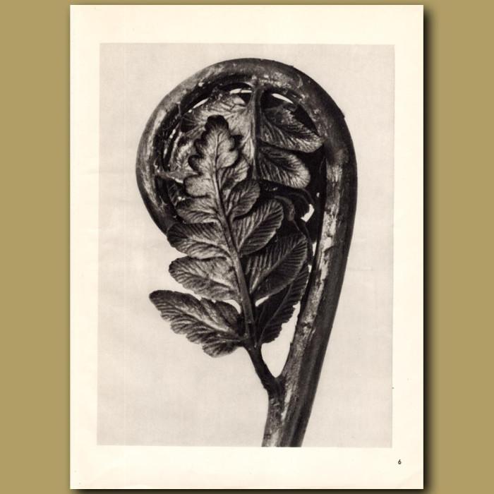 Polypodiaceae Aspidieae (4x): Genuine antique print for sale.