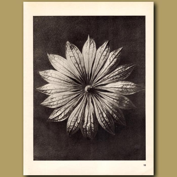 Astrantia Major (10x): Genuine antique print for sale.