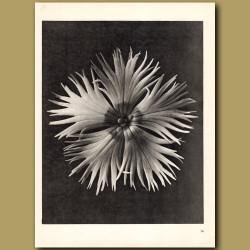 Dianthus Plumarius (8x)