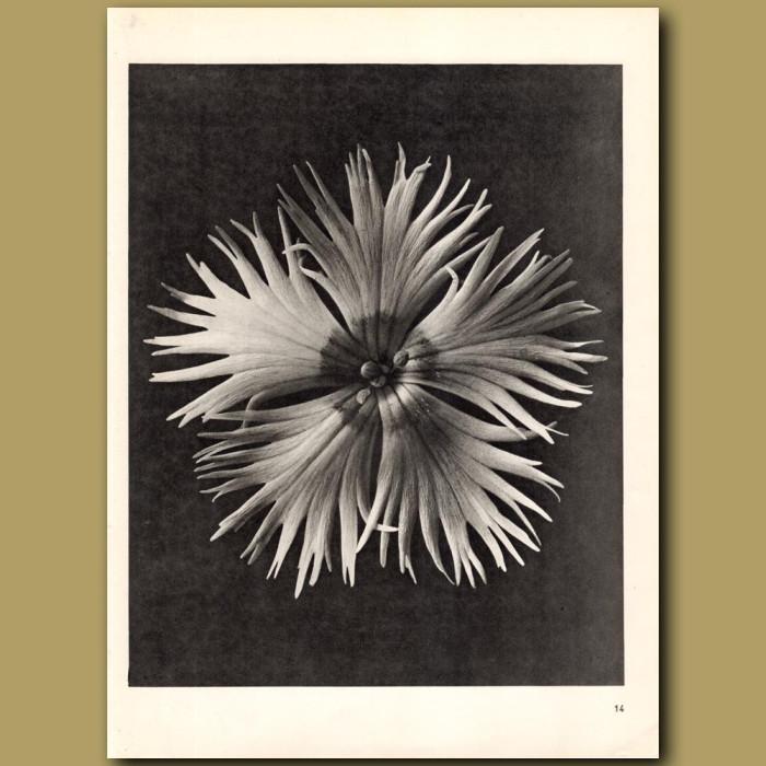 Dianthus Plumarius (8x): Genuine antique print for sale.