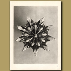 Mesembrianthemum Linguiforme (9x)