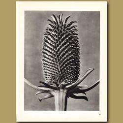 Dipsacus Fullonum (6x)