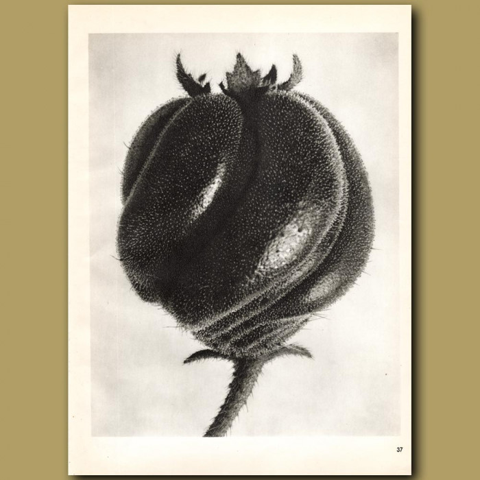 Blumenbachia Hieronymi (18x): Genuine antique print for sale.