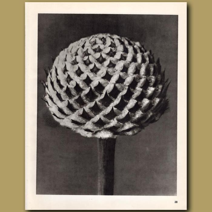 Cephalaria (10x): Genuine antique print for sale.