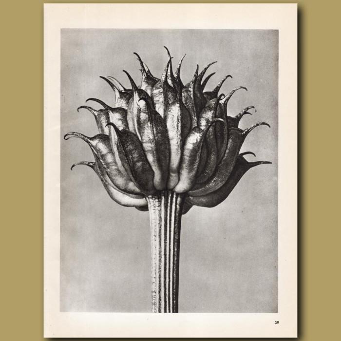 Trollius Ledebourii (10x): Genuine antique print for sale.