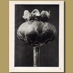 Centaurea Odorata (12x)
