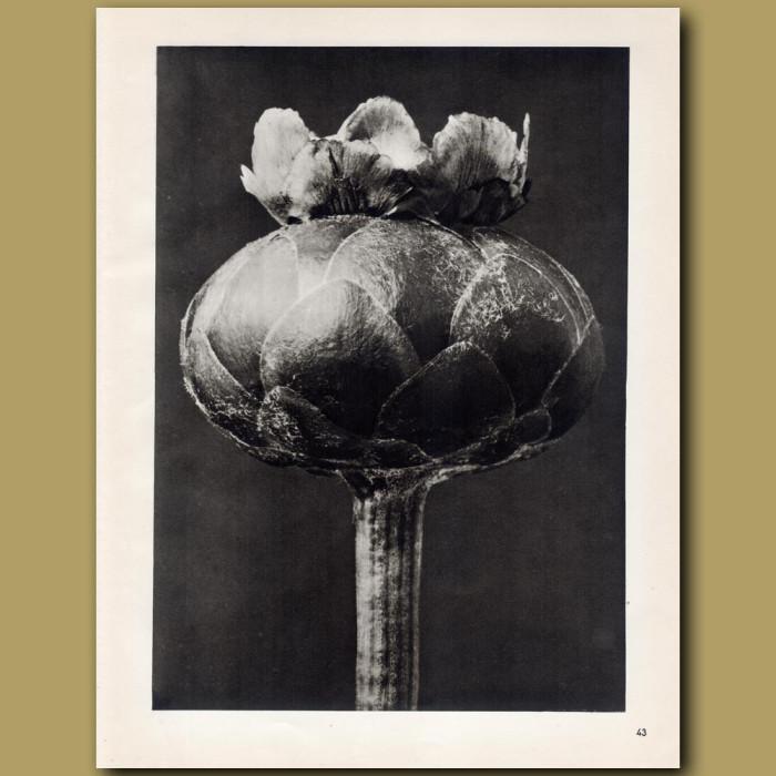 Centaurea Odorata (12x): Genuine antique print for sale.