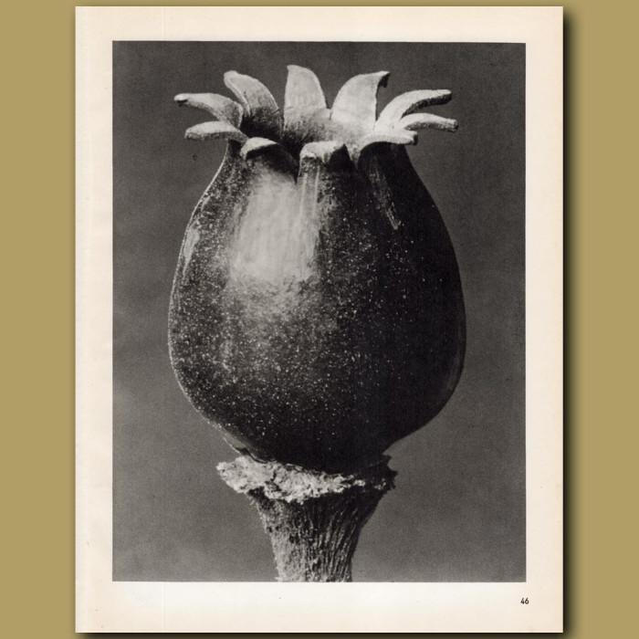 Melandryum Noctiflorum (20x): Genuine antique print for sale.