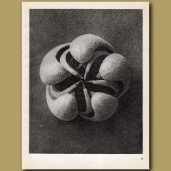 Blumenbachia Hieronymi (8x)