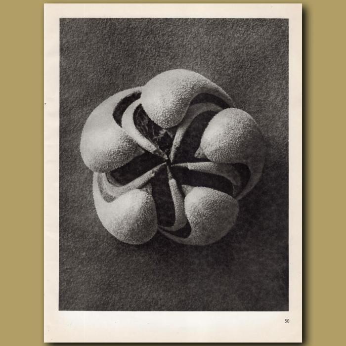 Blumenbachia Hieronymi (8x): Genuine antique print for sale.