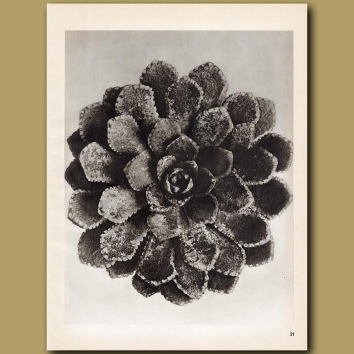 Saxifraga Aizoon (8x): Genuine antique print for sale.