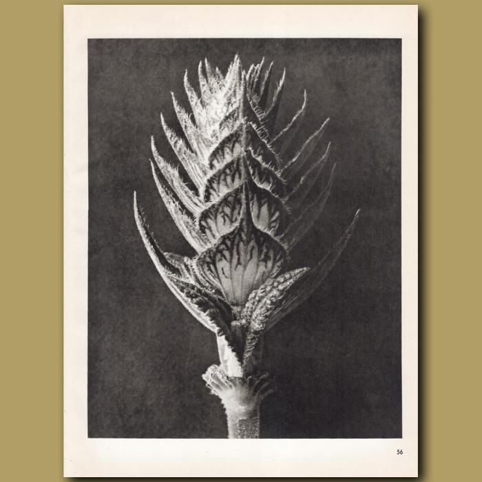 Salvia Pratensis: Genuine antique print for sale.