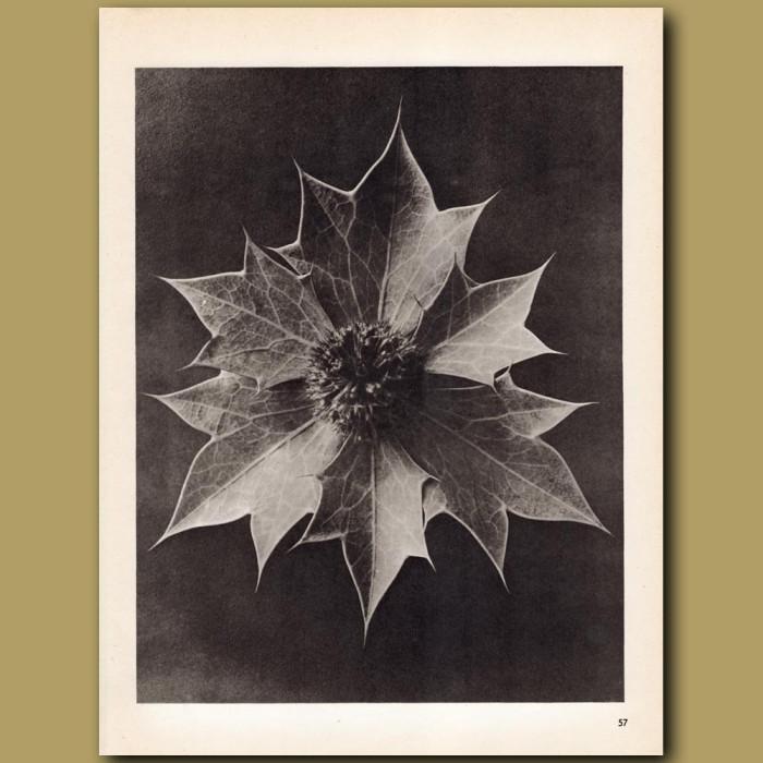 Eryngium Maritimum (4x): Genuine antique print for sale.