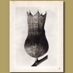 Hyoscyamus Niger (10x)
