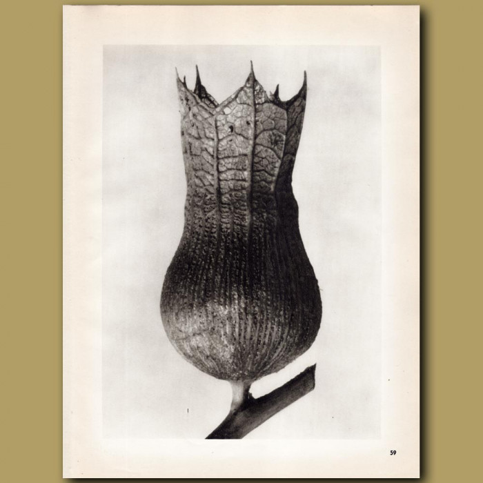 Hyoscyamus Niger (10x): Genuine antique print for sale.