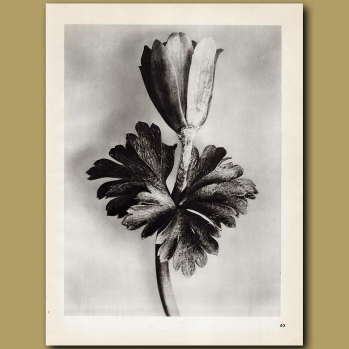 Anemona Nemorosa: Genuine antique print for sale.