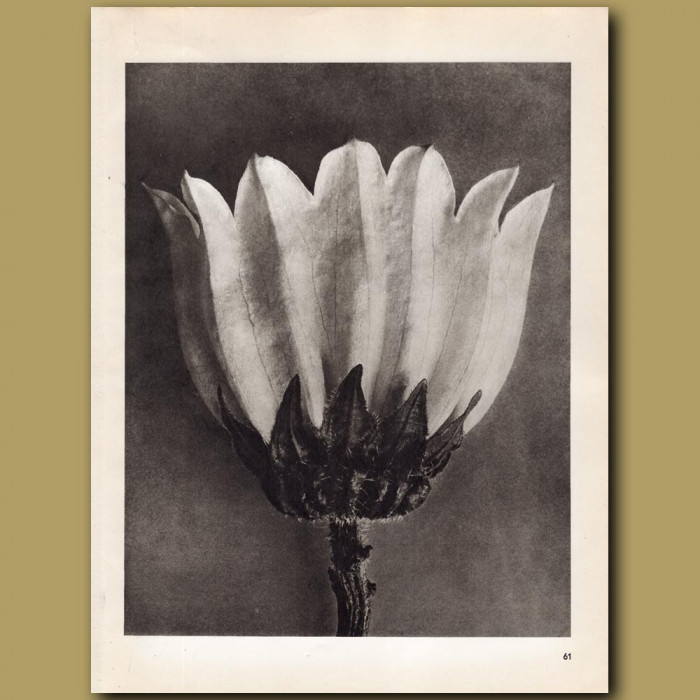 Campanula Medium (5x): Genuine antique print for sale.