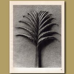 Pterocarya Fraxinifolia (25x)