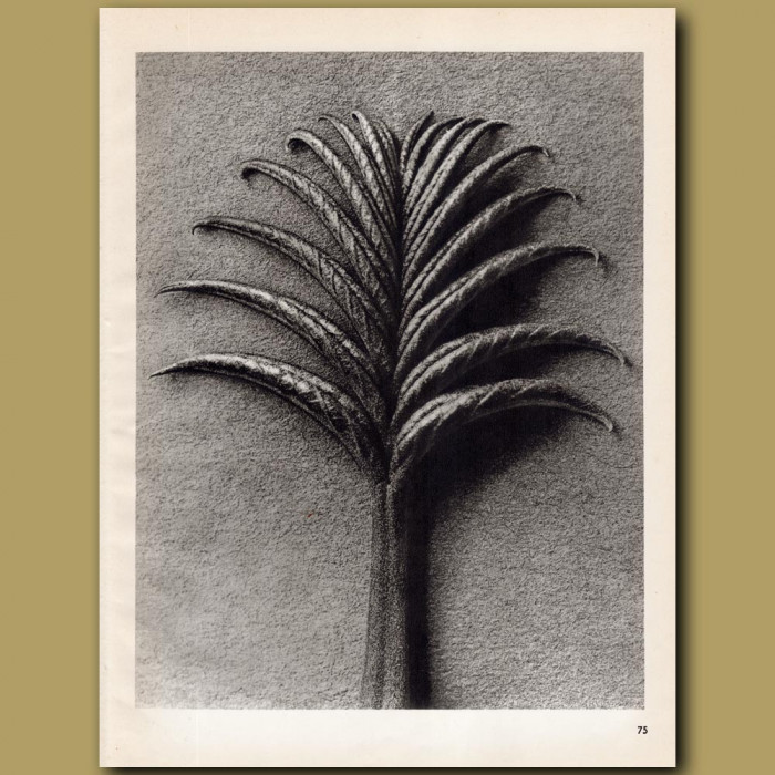 Pterocarya Fraxinifolia (25x): Genuine antique print for sale.