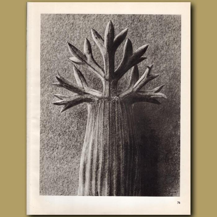 Seseli Gummiferum (10x): Genuine antique print for sale.