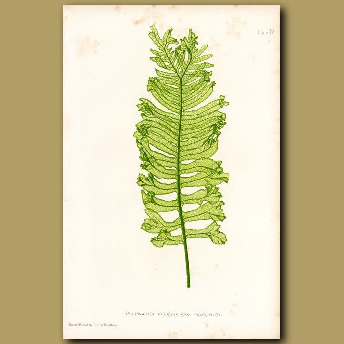 Antique print. Crisped Polypody Fern