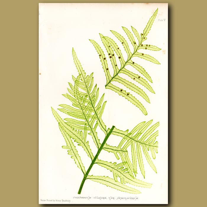 Antique print. Irish Polypoldy Fern