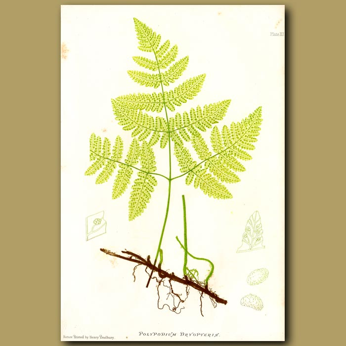 Antique print. Oak Fern