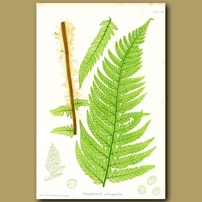Antique print. Prickly Shield Fern
