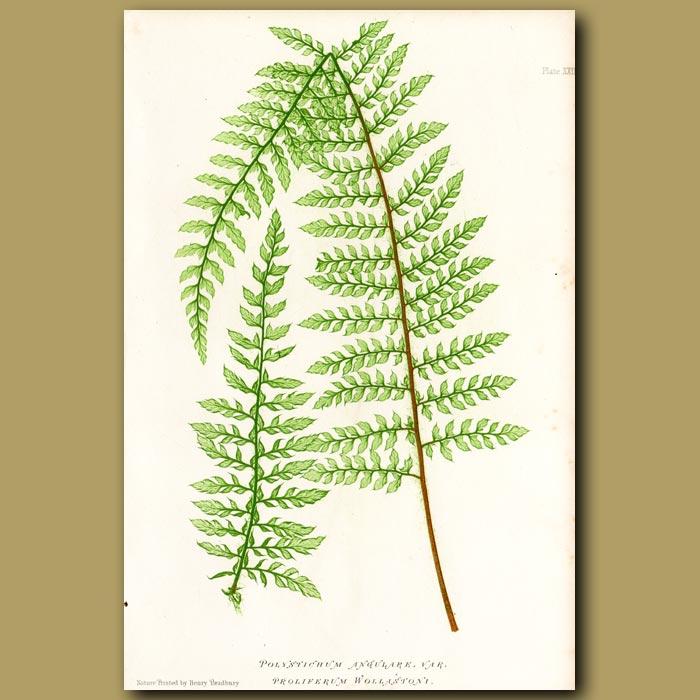 Antique print. Soft Prickly Shield Fern