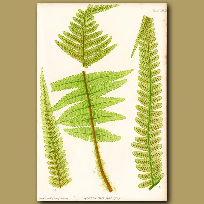 Antique print. Common Buckler Fern