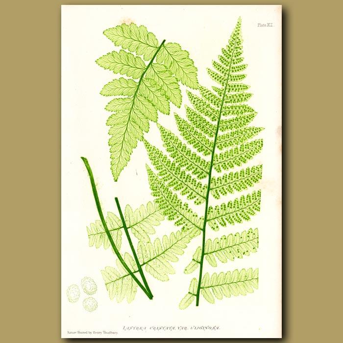 Antique print. Tall Buckler Fern