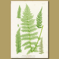 Lady Fern: Upright and Toothed