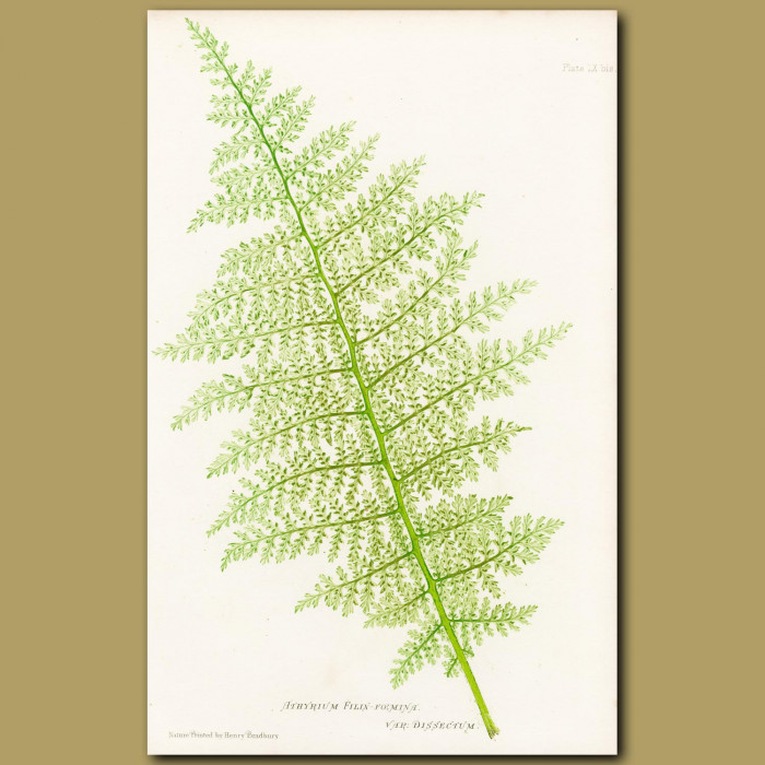 Feathery Lady Fern: Genuine antique print for sale.