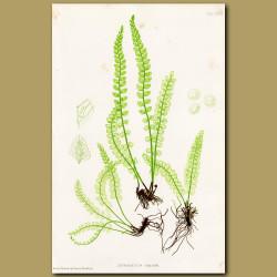 Fountain Spleenwort Fern
