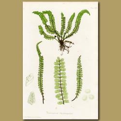 Maidenhair Spleenwort Fern