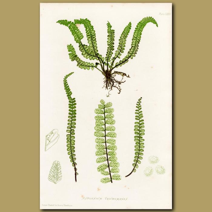 Maidenhair Spleenwort Fern: Genuine antique print for sale.