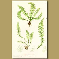 Green Spleenwort Fern