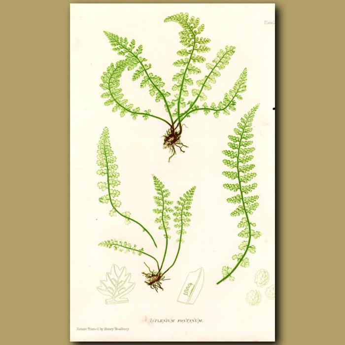 Green Spleenwort Fern: Genuine antique print for sale.